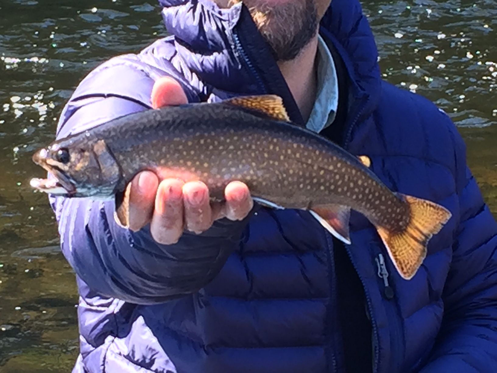 Fly Fishing Brook Trout